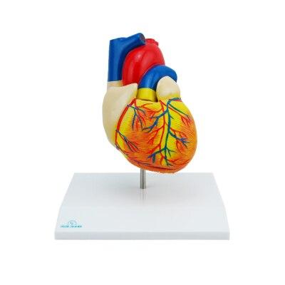 Menschliches Herz, 2 Teile