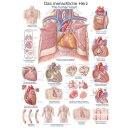 """Lehrtafel """"Das menschliche Herz"""", 70 x 100 cm"""
