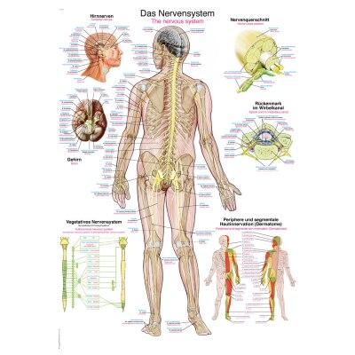 "Lehrtafel ""Das Nervensystem"", 70 x 100 cm"