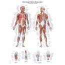 """Lehrtafel """"Die menschliche Muskulatur"""", 70 x 100 cm"""