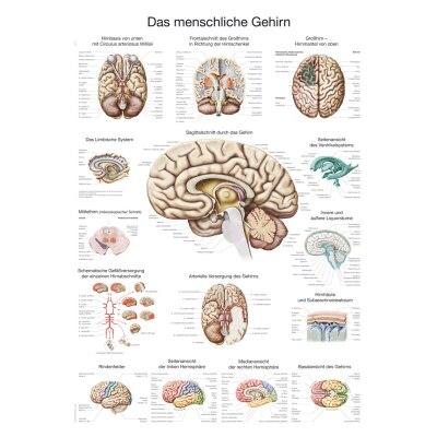 """Lehrtafel """"Das menschliche Gehirn"""", 70 x 100 cm"""