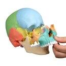 Osteopathie-Schädelmodell, didaktische Ausführung, 22 Teile