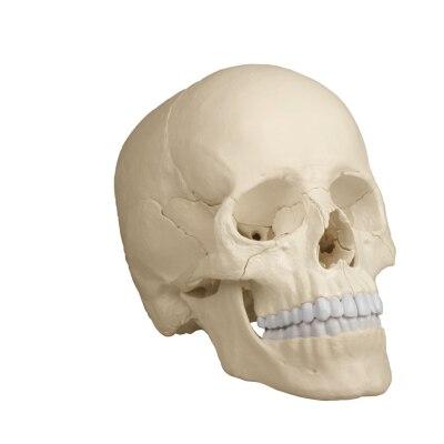 Osteopathie-Schädelmodell, 22 Teile, anatomische Ausführung