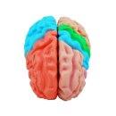 Gehirn-Modell lebensgroß, 5-teilig