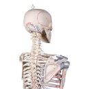 """Skelett """"Max"""" beweglich, mit Muskelmarkierungen und Bandapparat"""