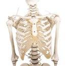 Skelett Hugo, 176 cm